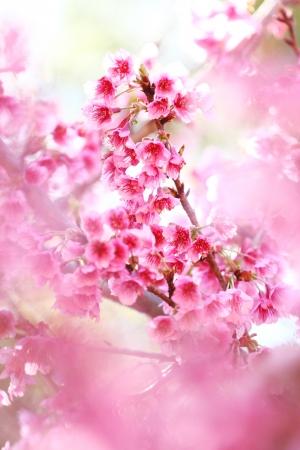 sakura white blurry foreground Stock Photo - 13803611
