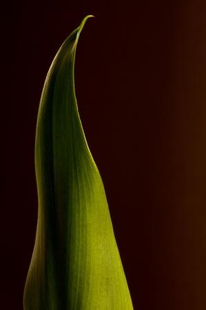 singular: Calla Lily Leaf