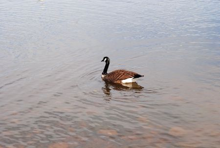 Goose in Pond