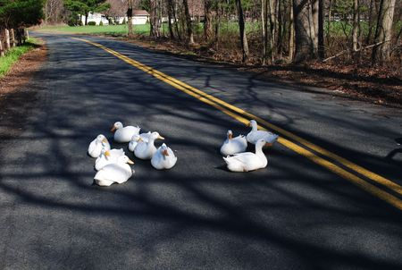 White Ducks on the Road
