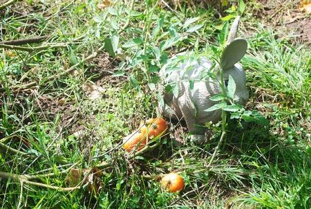 Tmatoes and rabbit in garden