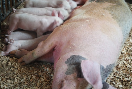 piglets: Pig and piglets