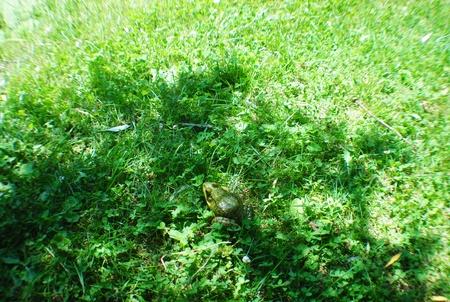 草の中の蛙