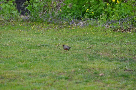 Worm seeking robin