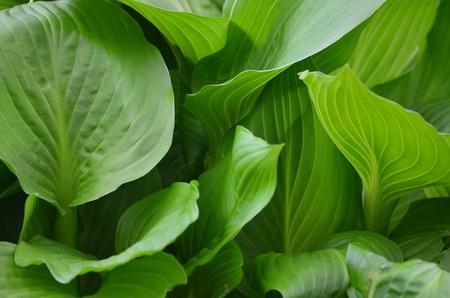 Hostas leaves
