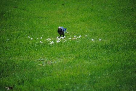 green jay: Blue Jay comer