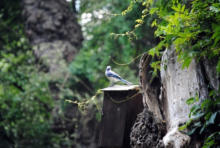 Bluejay on a butterfly house
