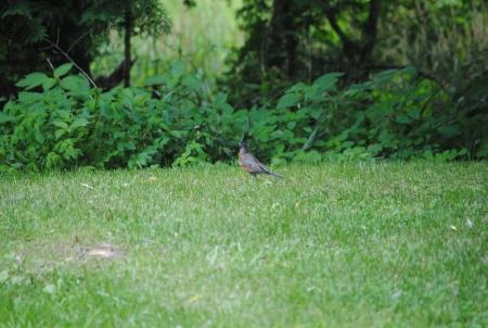 Robin op het gras