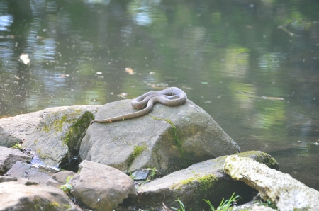 sunning: Watersnake sunning on rock Stock Photo