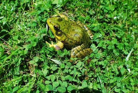 雑草のカエル