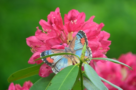Rhododendron and butterfly