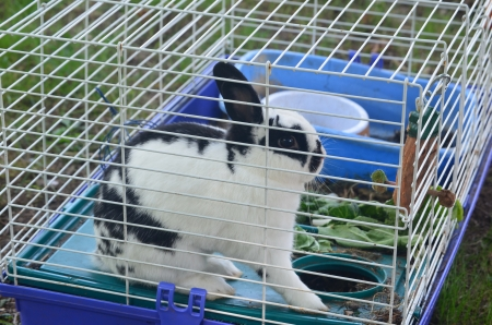A black an white rabbit in a cage
