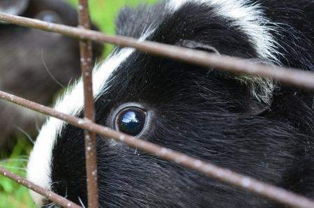 Guinea pig Stock Photo - 15226773