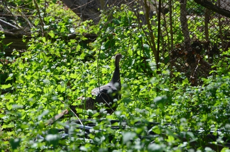 A turkey in the woods