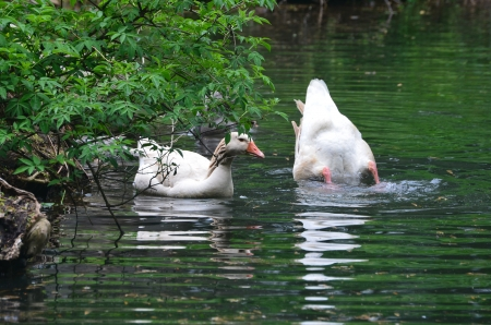 American Buff geese in the pond Stock Photo