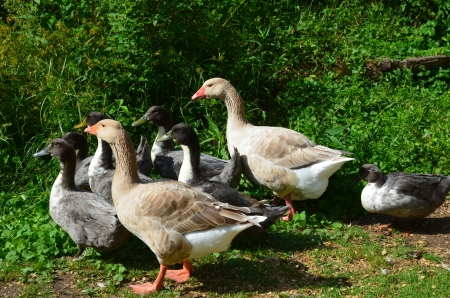 American buff geese and swedish blue ducks
