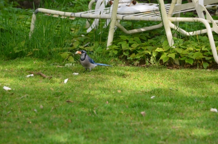 A bluejay eating bread Stock Photo