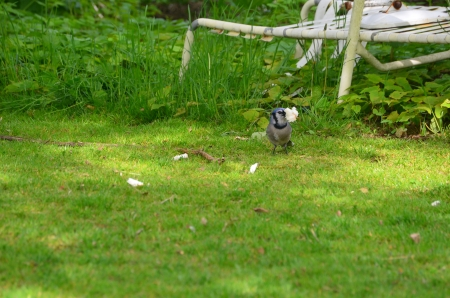 bluejay: A Bluejay eating bread