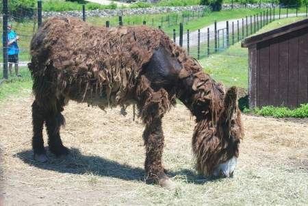 unkempt: Shaggy mule