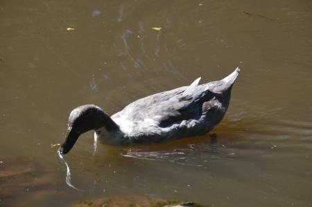 buff: American Buff goose swiming in pond Stock Photo