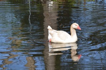 buff: American Buff goose