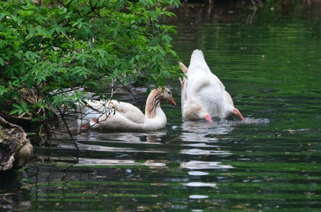 buff: American Buff geese in a pond Stock Photo