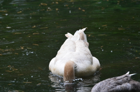 American Buff goose with head under water Banco de Imagens