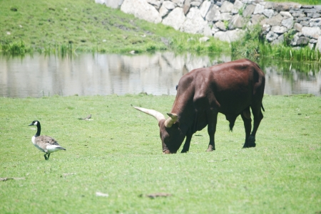 Ankole-Watusi and a goose