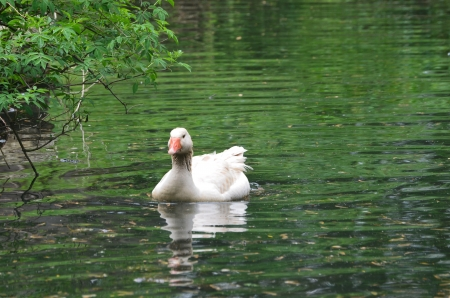 American Buff goose swiming in a pond