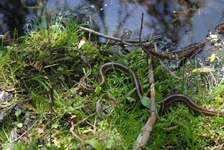 Een Kousenband slang met gele strepen Stockfoto