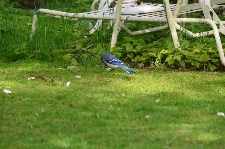 green jay: Un arrendajo azul en el c�sped