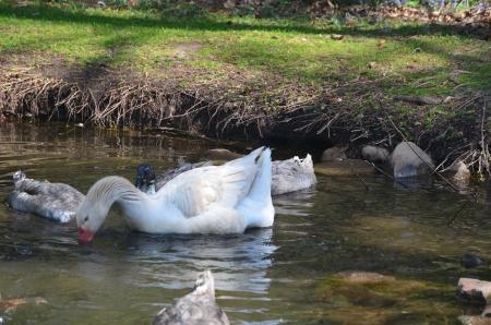 アメリカ バフ ガチョウそして青いスウェーデン、池のカモします。 写真素材