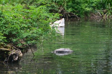 池でアヒル、ガチョウ