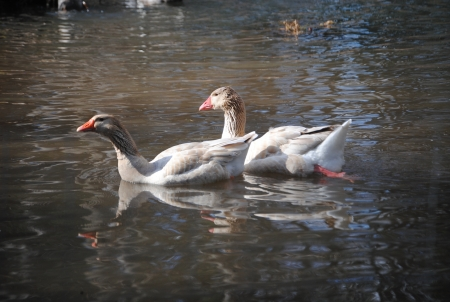 buff: American Buff geese swiming in a pond Stock Photo