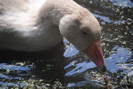 buff: American Buff goose,