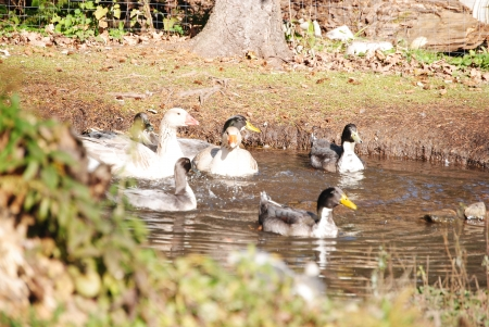 American Buff geese and Blue Swedish ducks in a pond