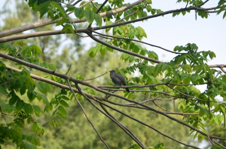 catbird: Catbird in a tree