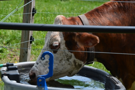 jersey cattle: Jersey cow drinking Stock Photo