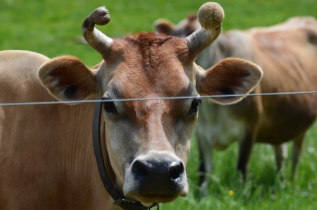 jersey cow: Brown Jersey cow Stock Photo