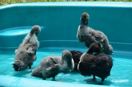 Baby Blue Swedish ducks in a pool