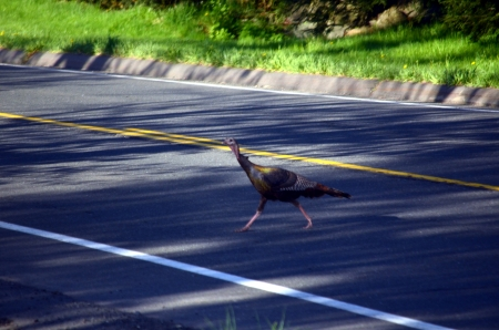 Turkey crossing the road