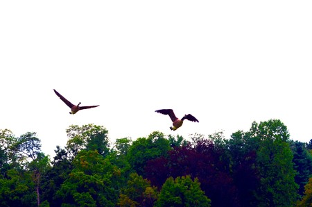 Geese flying Stock Photo
