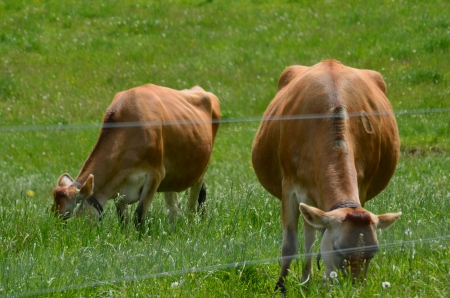jersey cattle: Some grazing jersey cows
