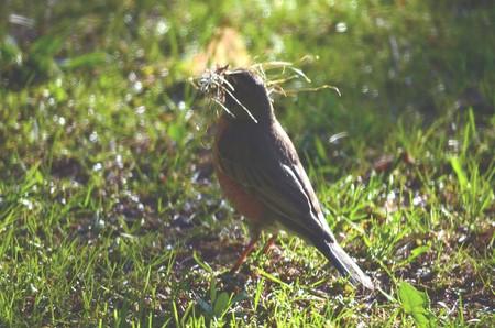 Een Robin die nestmateriaal verzamelt