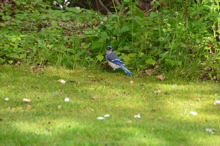 bluejay: A Bluejay with bread in the grass Stock Photo