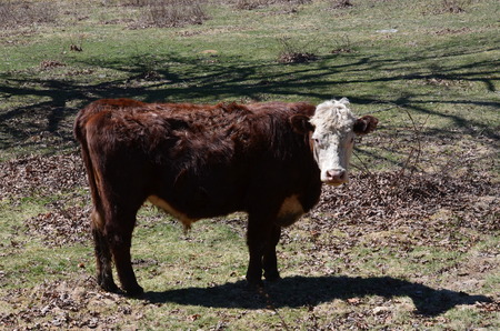 hereford: A young Hereford cow in the pasture Stock Photo