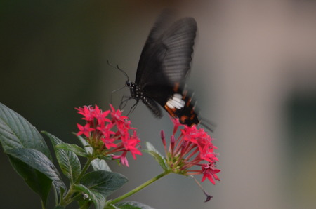 A black butterfly on a red flower Stock Photo