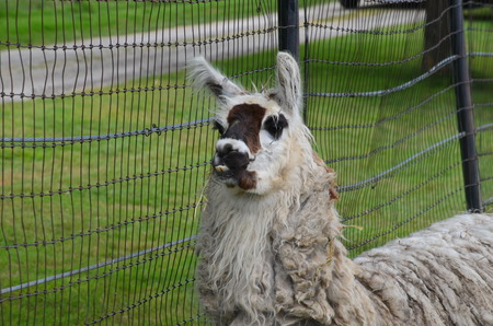 fenced in: Llama in fenced in area Stock Photo