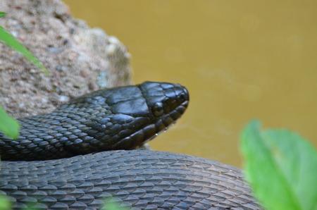 Een zwarte slang