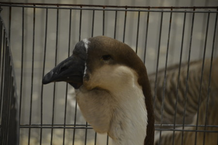 Goose in a cage